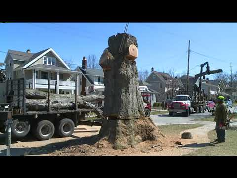 Moses Cleaveland tree comes down