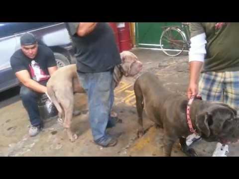Inseminación Artificial de perros Mastin...