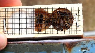 Honey Bees When and How to Re Queen a Hive with a new Queen Bee, Queen Replacement thumbnail