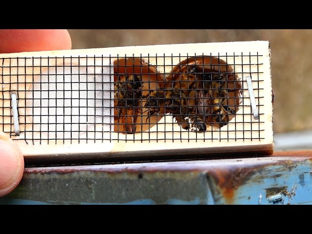 Honey Bees When and How to Re Queen a Hive with a new Queen Bee, Queen Replacement