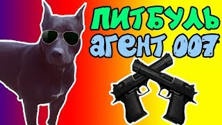 фаина питбуль))) собака агент 007