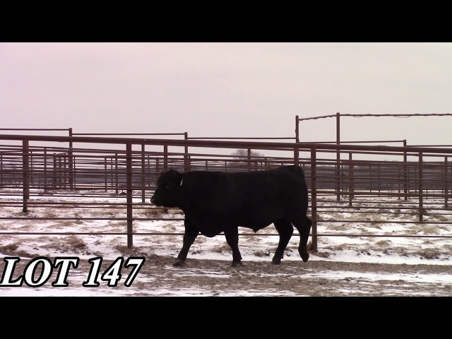 Mead Angus Farms Lot 147