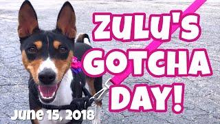Zulu's Gotcha Day! // The story of the day we got our Basenji Zulu Joy!