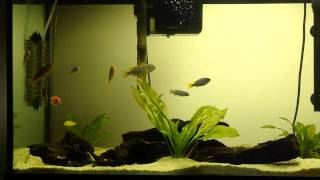 Malawi African Cichlids 75 Gal Drift Wood, Planted Aquarium