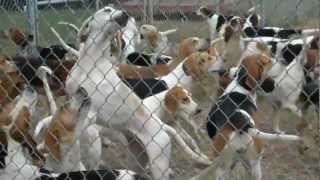 Cheshire Foxhounds are a lively bunch. Turn up the volume to hear t...
