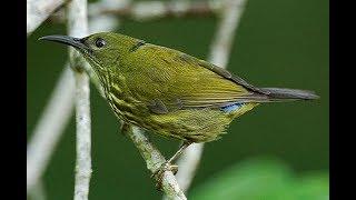 Download Video mikat burung ciung air di bawah pohon bambu MP3 3GP MP4