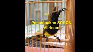 Burung Sogok ontong Vietnam gacor tembakan rapat