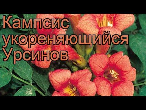 Кампсис укореняющийся Урсинов 🌿 обзор: как сажать, рассада кампсиса Урсинов