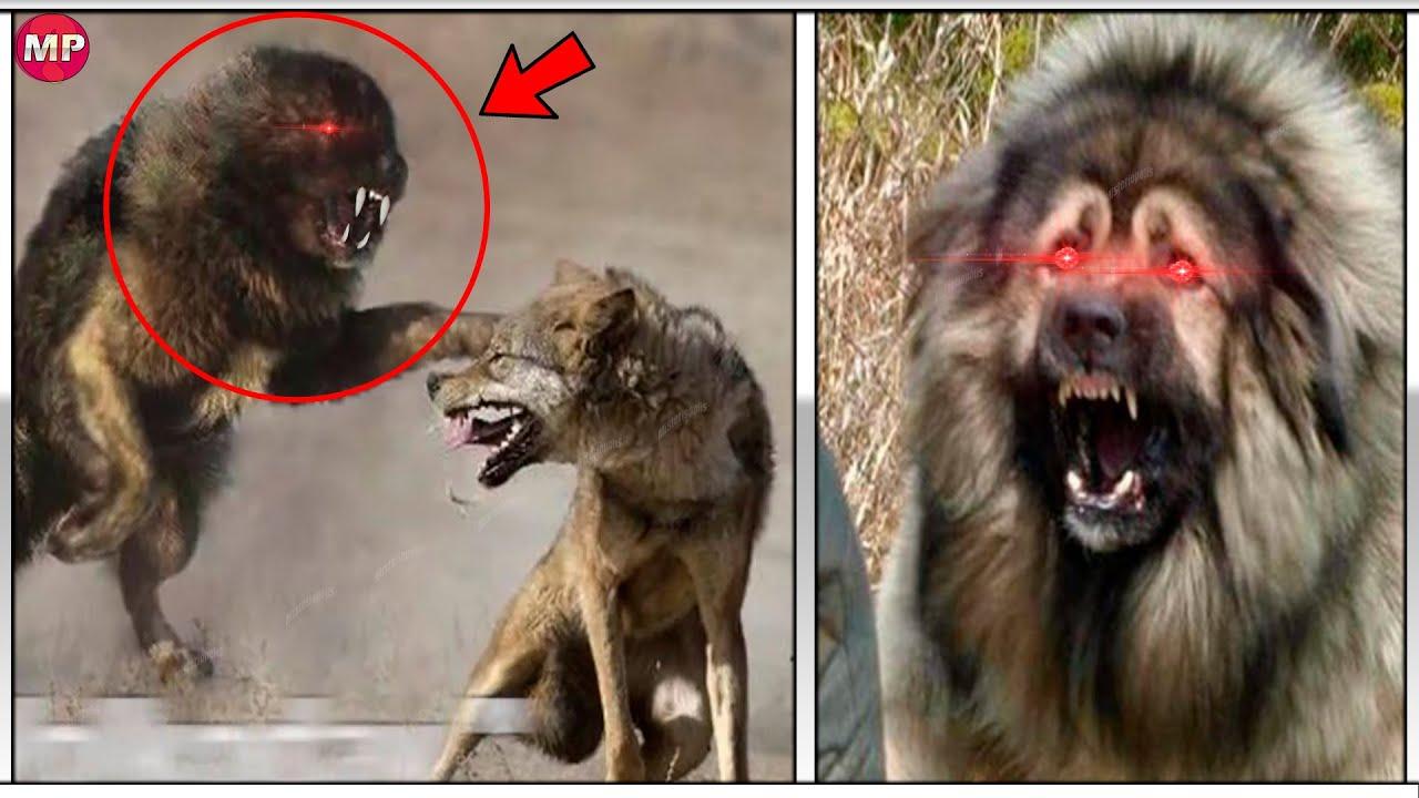 Download Este PERRO Monstruo Nació Para ENFRENTAR Pumas y Lobos | El PODER DEL PASTOR CAUCÁSICO