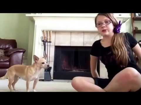 Crazy Smart Chihuahua does some of the most adorable tricks!