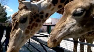 Дети кормят огромного жирафа. Children are fed a huge giraffe