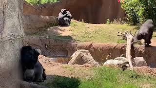 Los Angeles zoo(第2放飼場) ケリー:Kelly 家族のシルバーバック、ラ...