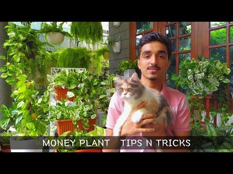 Money plant tips n tricks   Healthy growth