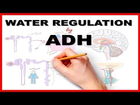 Water Regulation by Antidiuretic Hormone (ADH)