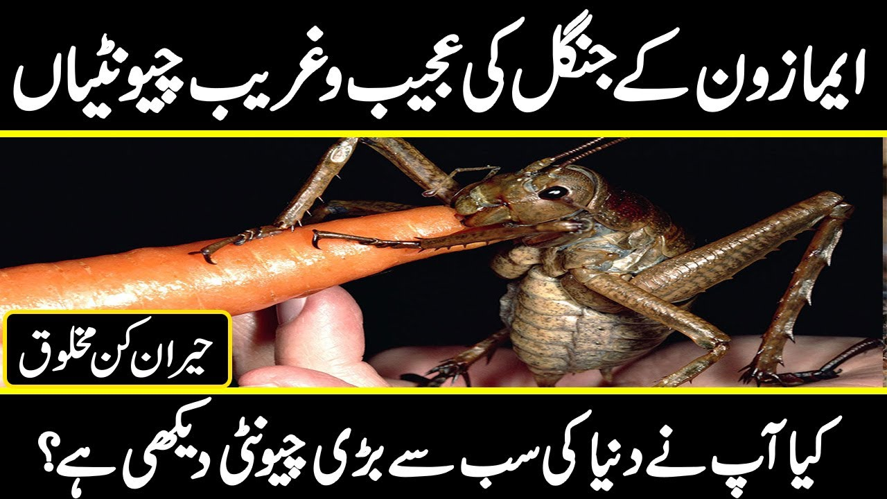 Killer Ants of Amazon Forest |The world's Largest Ant |  Wildlife Documentary | Urdu Cover