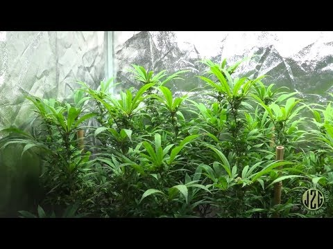 Beginner Tips #6 - Pruning In Flower To Increase Yield - YouTube