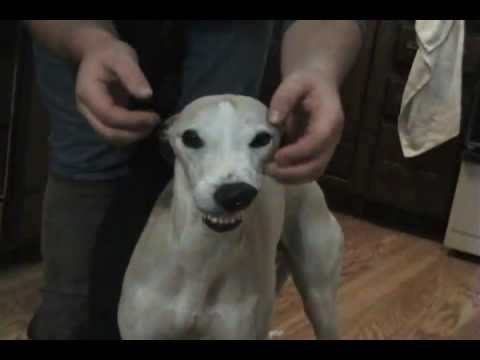 What to do with a Whippet on a Cold Winter Day