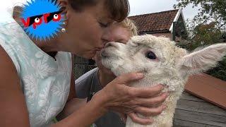 Beestieboys - Beest te koop: Alpacas