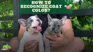 How to Recognize French Bulldog/Frenchton Coat Color?