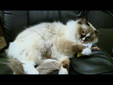Ragdoll Cats Are Floppy Cats - ラグドール - PoathTV Funny Cat Video - PoathCats
