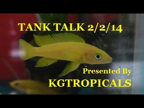 A NEW TREATMENT FOR ICK AND AN AFRICAN CICHLID MOB HIT!! TANK TALK Presented By KGTropicals