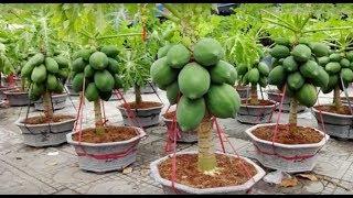 Uau – Mamão anão plantado em vaso – Super fácil e rápido