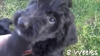 Beautiful Bernedoodle Puppies ~ 8 Weeks Old