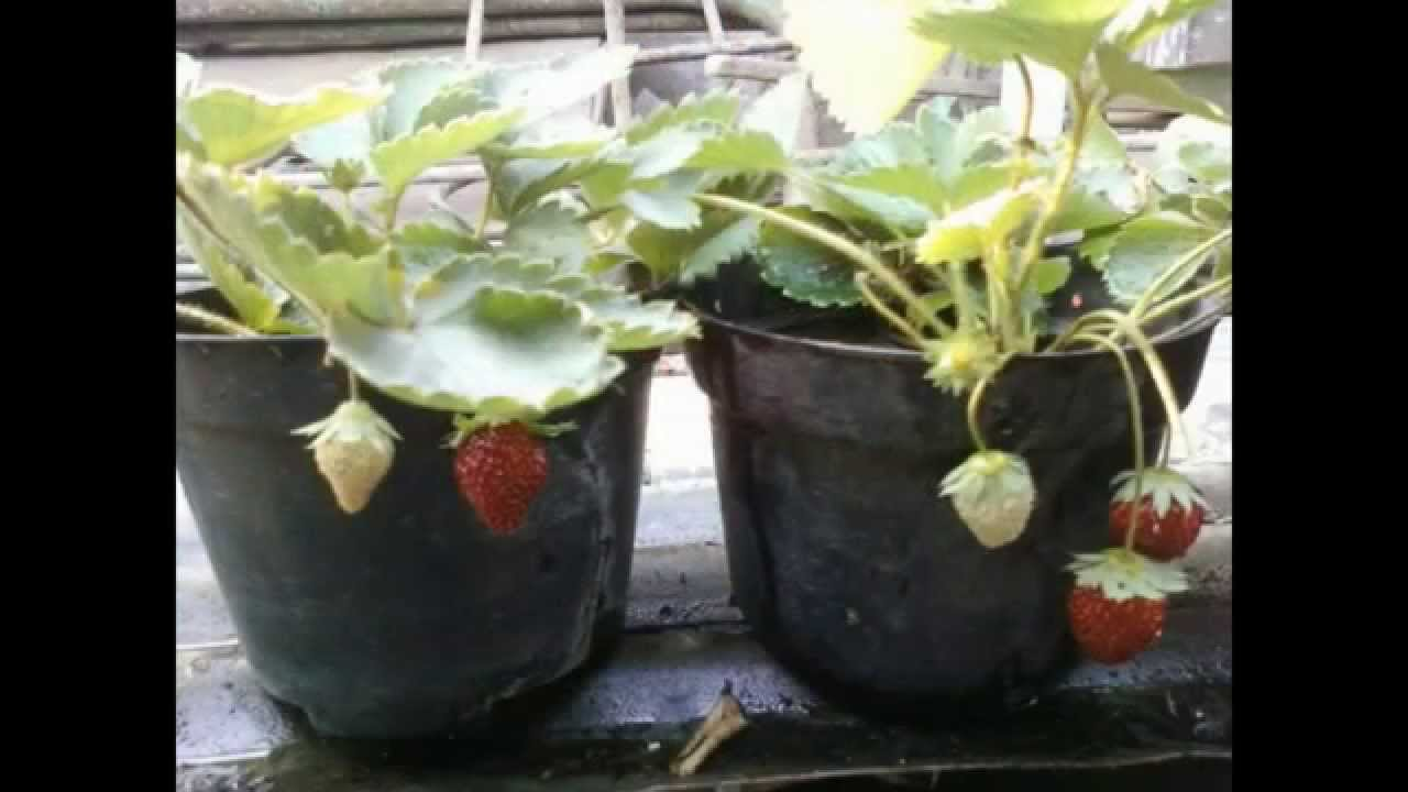 Growing strawberries in small pots youtube What are miniature plants grown in pots called