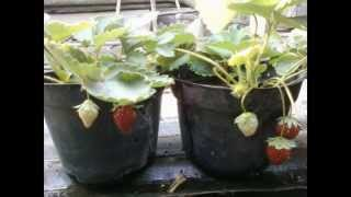 Growing Strawberries In Small Pots