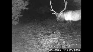 6X6 bull elk on trail cam