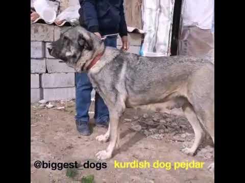 BiGGEST KURDISH DOGS/TOP Amazing Dogs/PEJDAR/ASSYRIAN/سگ پژدر