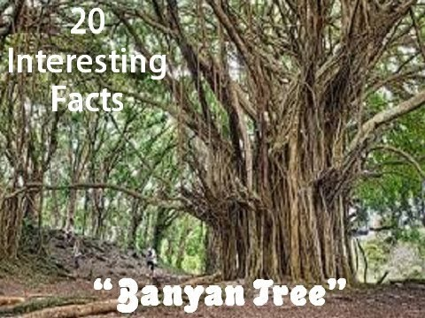 """20 Interesting Facts about """"Banyan Tree"""""""