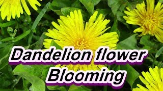 Dandelion flower Blooming