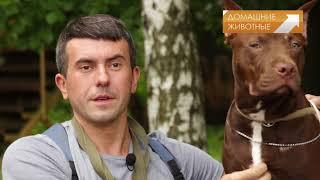 Гладиаторы собачьего мира: Американский питбультерьер