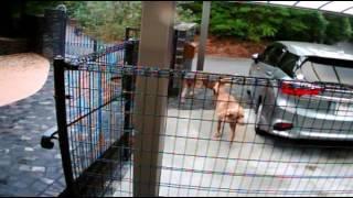 飼い主が洗車をしていた時、クララがフェンスの扉を口で開け、バンビと...