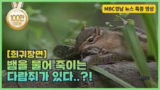 [희귀장면] 뱀 물어 죽이는 다람쥐!! 종족보존을 위한 고군분투기! 신비한 동물의 세계