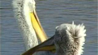 Pelecanus Crispus - Dalmatian Pelican - Къдроглав пеликан