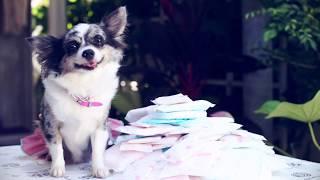 Течка у собак: сколько раз, сроки, уход, первая течка | Чихуахуа Софи