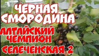 Черная смородина Алтайский чемпион, и Московская 17!
