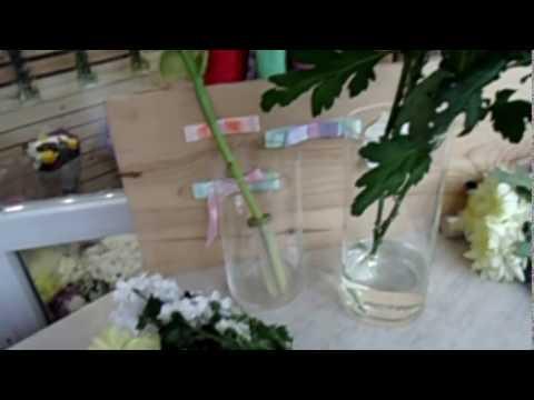 Уход за срезом хризантем и секреты их оживления