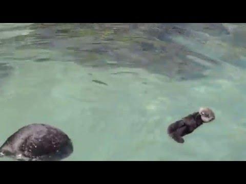 Monterey Bay Aquarium Otter Pup 3/6/2016