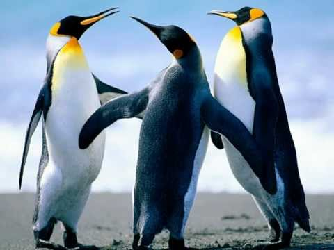 pingvinai dainuoja