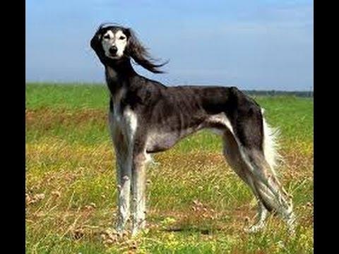 Салуки (Борзая Saluki). Породы собак (Dog Breed)