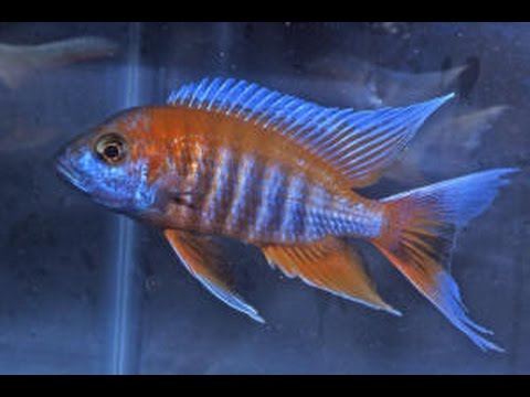 Aulonocara Jacobfreibergi Eureka Red Peacock Cichlid - YouTube