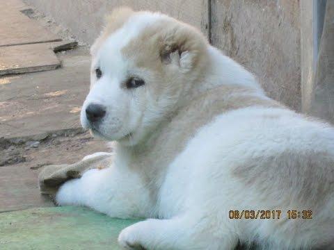 Продаются щенки алабаи (САО )от чемпионов России. - YouTube