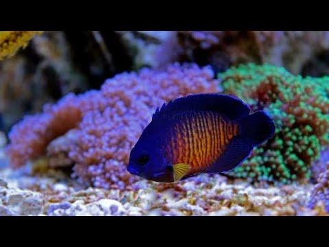 Coral Beauty Angelfish/ ANGEL KENEDY....Reef Safe?????