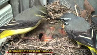 撮影:2011/05/24 実家の軒下に巣を作り現在子育て真っ最中なんです。 ツガイの親鳥がせっせと餌を運んでヒナに与えています。10日位前に卵を産...