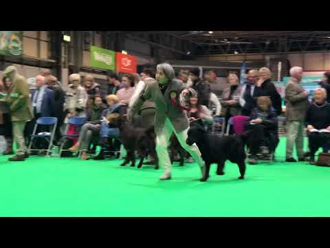 CRUFTS'19 Flatcoated Retriever Dog CC