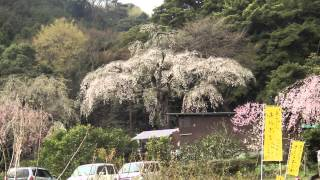 2013_03_29小田原市 ウォーク&ハイク[長興山しだれ桜と一夜城].wmv