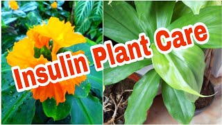 Growing Insulin Plant In Terrace Garden | Medicinal Plants || ఇన్సులిన్ మొక్క టెర్రస్ లో పెంచడం ఎలా!